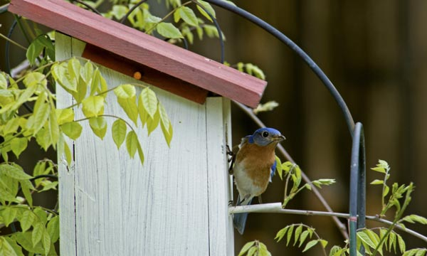Bluebird-Feeder-faqs