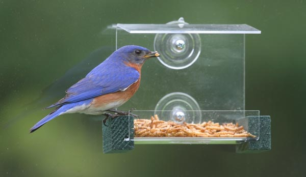 Factors-to-Consider-When-Buying-a-Bluebird-Feeder