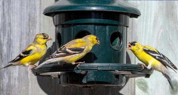 Factors-to-consider-when-buying-a-finch-feeder