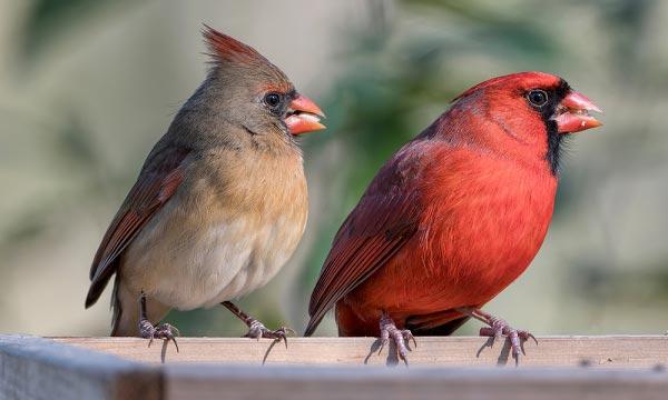 Feeder-for-Cardinals-FAQs