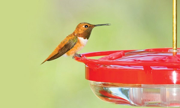 Hummingbird-feeder-faqs