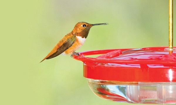 Hummingbird-feeder-faqs