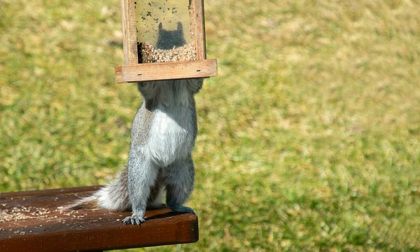 Stopping-Squirrels-from-Eating-Bird-Food