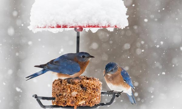 What-is-a-Bluebird-Feeder