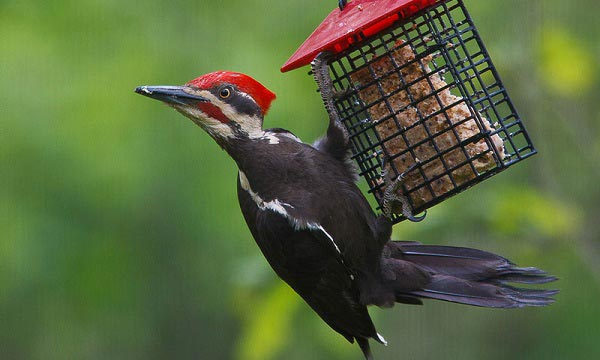 What is a Woodpecker Feeders