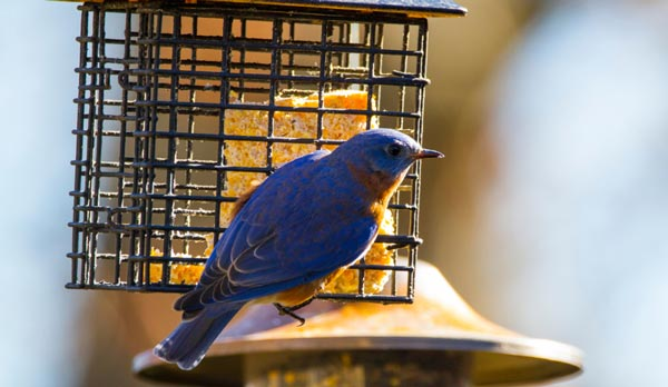 What-is-the-Best-Food-for-Bluebirds