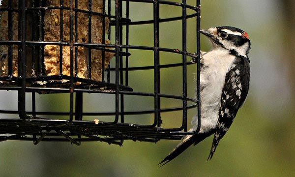 Woodpecker Feeder Reviews