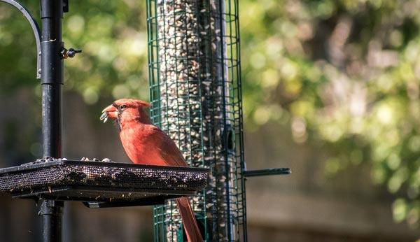 You-See-a-Cardinal-Bird