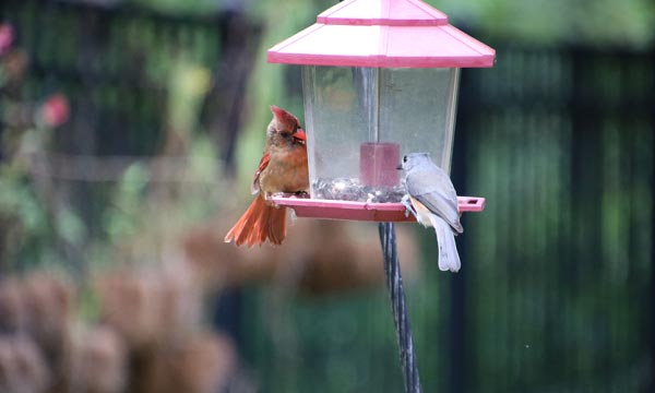 benefits-of-Feeder-for-Cardinals