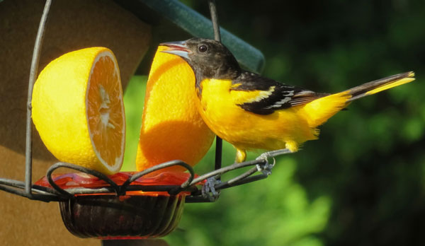 best-oriole-feeders