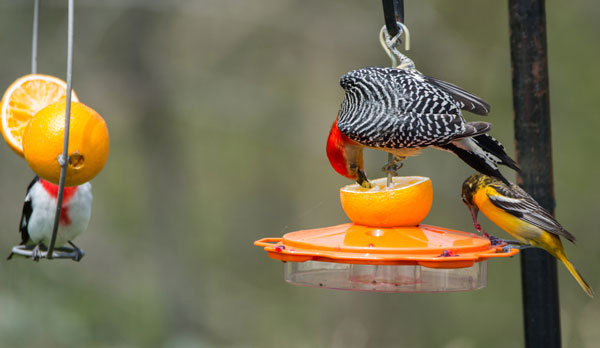 oriole-feeder-types