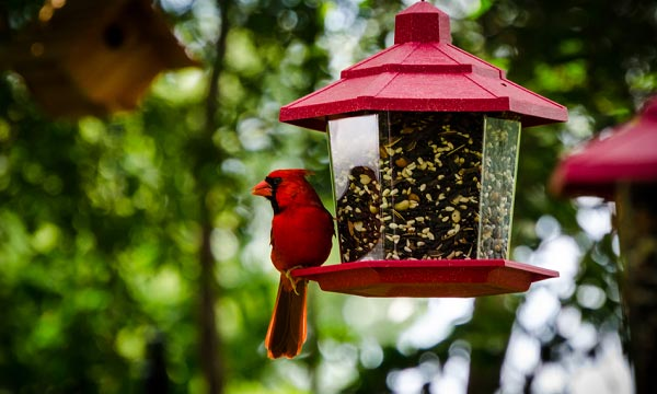 the-best-bird-food-for-cardinals