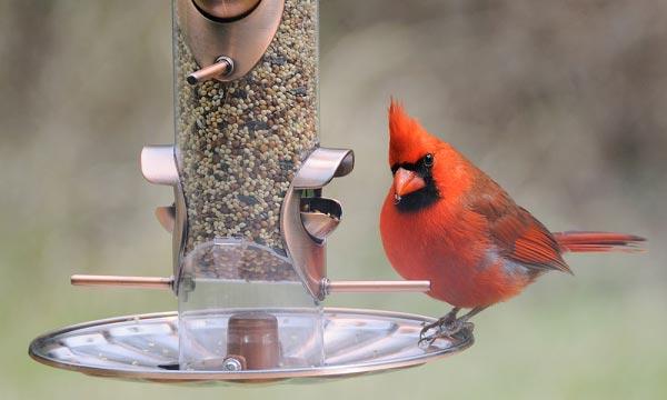 types-of-Bird-Feeder-for-Cardinals