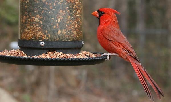 what-is-a-Cardinal-feeder