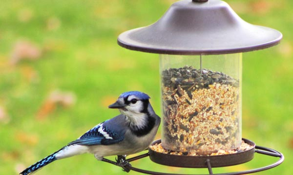 blue-jay-enjoying-some-birdseed