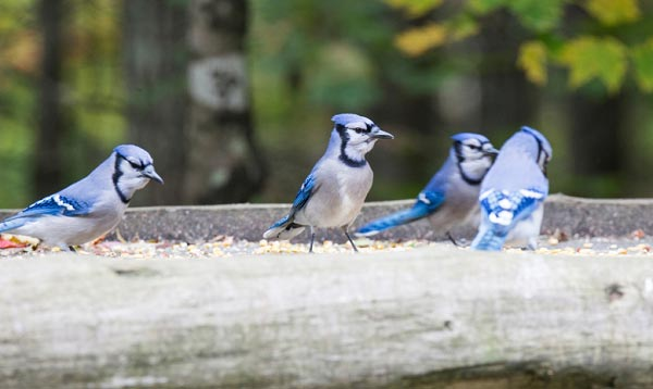 blue-jay-in-autumn