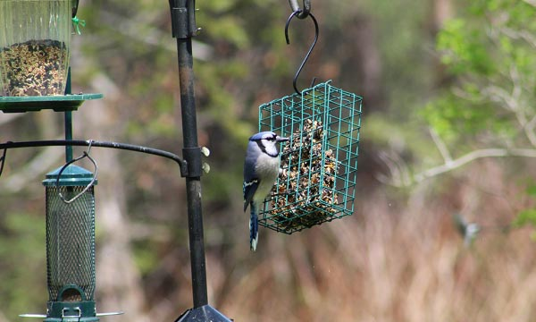 blue-jay-perched-on-suet-feeder