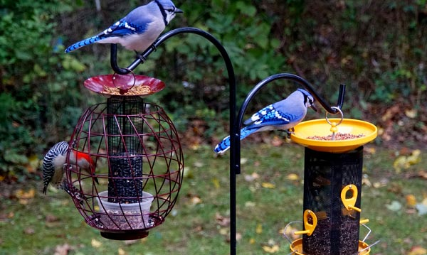 blue-jays-and-red-bellied-woodpecker-eating-seeds