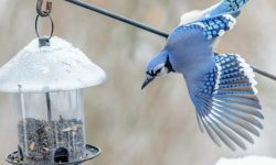 blue ray in winter reaching for feeder