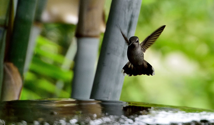 hummingbird hovering near a bird bath