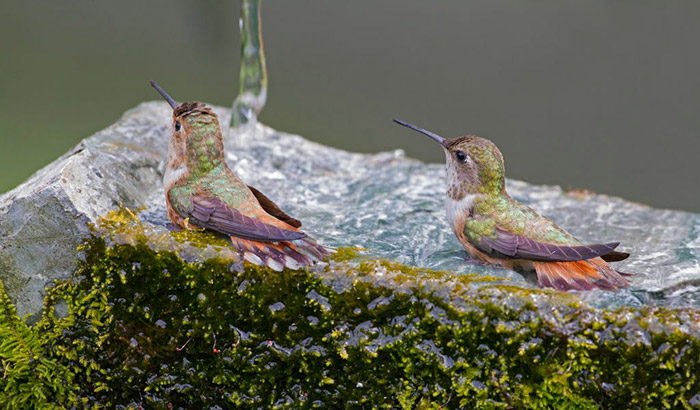 hummingbirds bathing in water