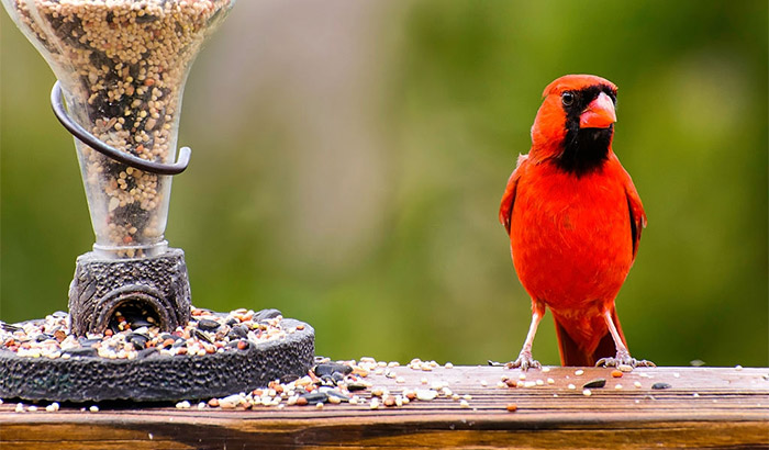 best bird seed for cardinals