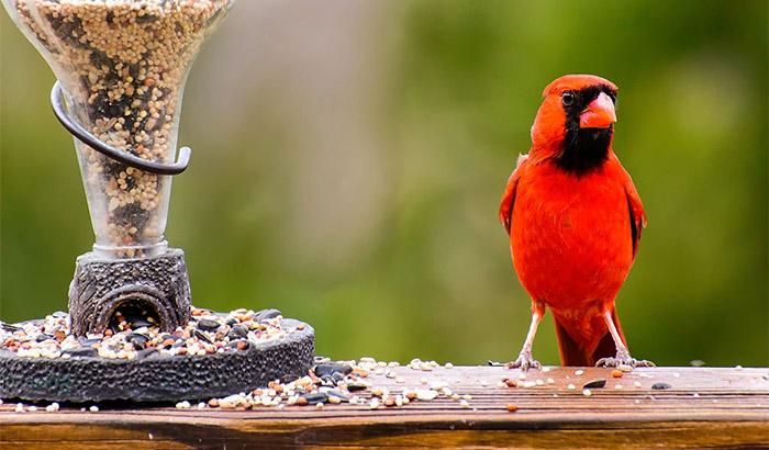 best bird seed for cardinals