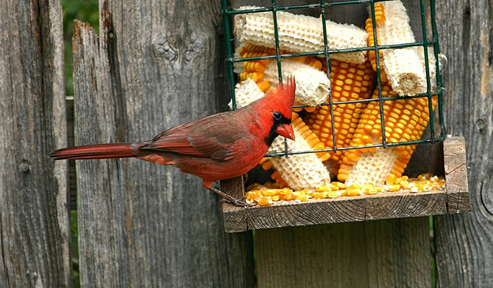 best food for cardinals