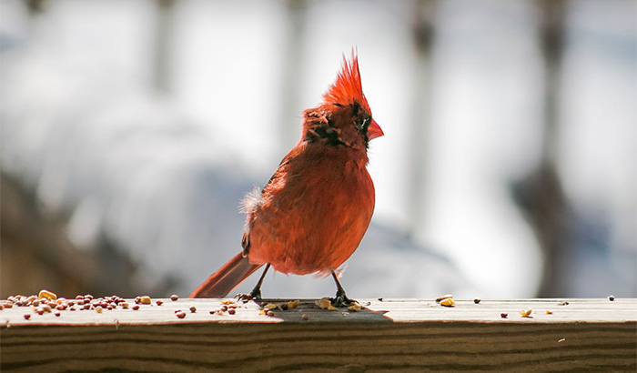 what do red cardinals eat