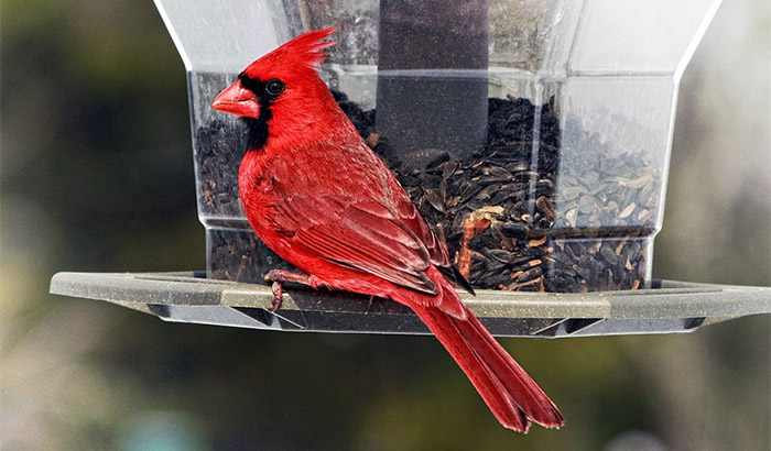 what to feed cardinals