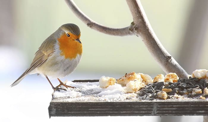 what to feed robins
