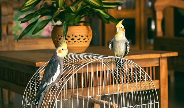 best cockatiel cages