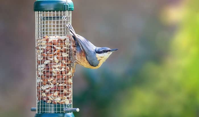 can birds eat salted peanuts