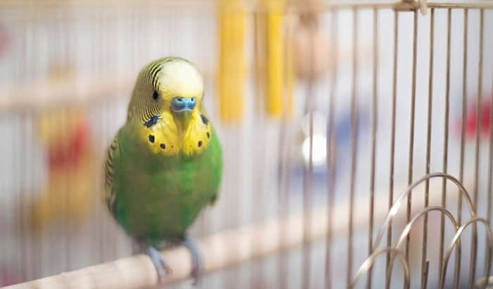 how do parakeets sleep in a cage