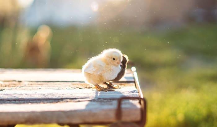 how to keep a baby bird warm