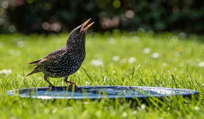 what do baby starlings eat