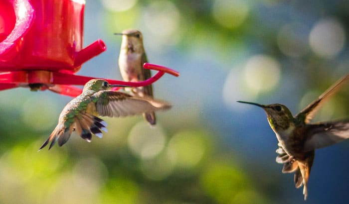 why do hummingbirds fight over the feeder